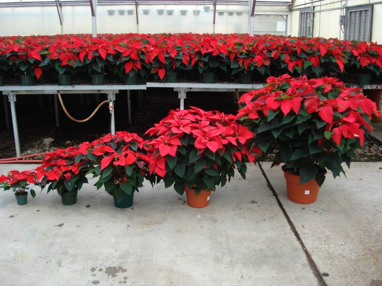 Poinsettia Plants For Wholesale Brown S Greenhouse