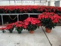 Poinsettia Sizes.jpg