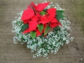 Red Poinsettia with Euphorbia Center Piece.jpg