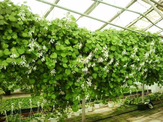 Swedish-Ivy Ivy Plant Greenhouse on water plants, bayou plants, nursery plants, history plants, watering plants, potted plants, farm plants, tropical plants, sci-fi plants, horticulture plants, green plants, landscaping plants, fertilizing plants, pepper plants, cartoon fern plants, tomatoes plants, annuals plants, pruning plants, how grow zinnia plants, indoor plants,